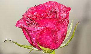 沾滿水珠的紅玫瑰特寫攝影圖片