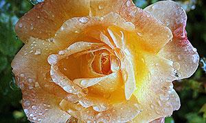 雨后沾滿水珠的黃玫瑰特寫攝影圖片