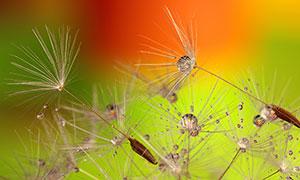 雨后沾滿水珠的蒲公英種子攝影圖片
