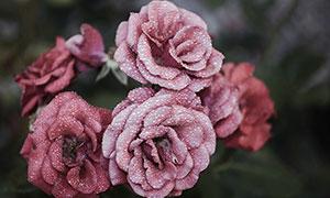 雨后沾滿水珠的暗紅玫瑰攝影圖片