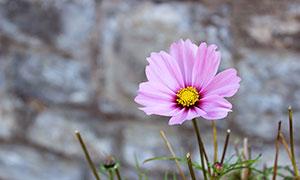 盛開的粉色小花高清攝影圖片