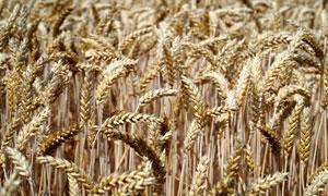 丰收季节麦穗近景特写摄影高清图片