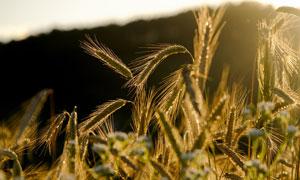 长麦芒的麦穗特写逆光摄影高清图片