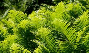 郁郁葱葱绿色蕨类植物摄影高清图片