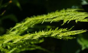 树林中的蕨类植物特写摄影高清图片
