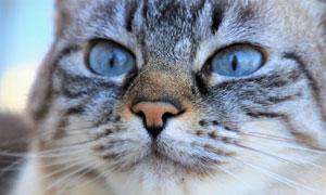 一只蓝色眼睛的喵星人摄影高清图片