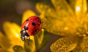 花瓣上的七星瓢虫特写摄影高清图片