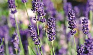 被花香引来的蜜蜂特写摄影高清图片
