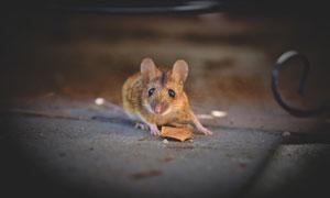 在公园里出没觅食的小老鼠高清图片