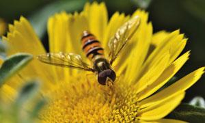 一大朵黄菊花上的蜜蜂摄影高清图片