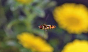 在花间飞舞的蜜蜂特写摄影高清图片