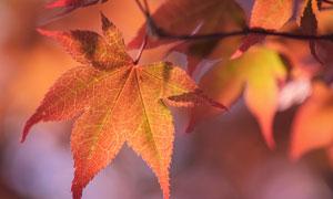 被秋色染红的树叶特写摄影高清图片
