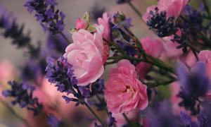 薰衣草与粉红色的鲜花摄影高清图片