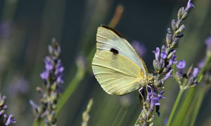 在薰衣草植株上的一只蝴蝶高清图片