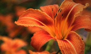 盛开的鲜艳百合花特写摄影高清图片