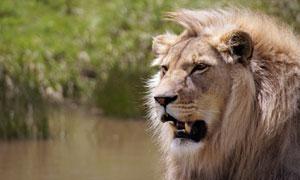 张着嘴露出獠牙的狮子摄影高清图片