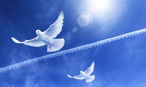 蓝天上飞翔的一对白鸽摄影高清图片