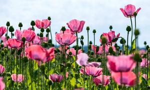 花苞与绽放的粉色鲜花摄影高清图片