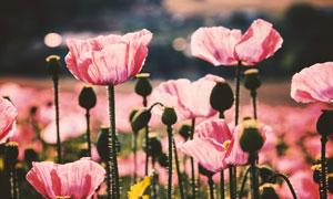 花田里盛开的粉色花朵摄影高清图片
