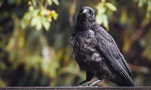 树枝上歪着脑袋的乌鸦摄影高清图片