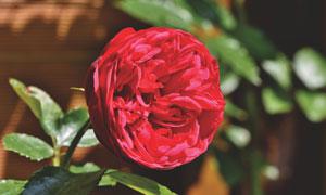 红彤彤的花卉植物特写摄影高清图片