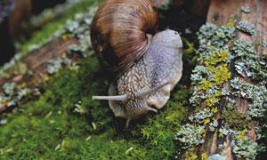 丛林里在朽木旁爬着的蜗牛高清图片