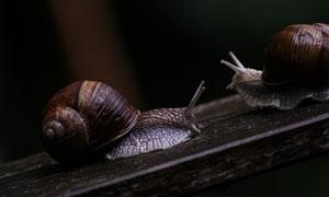 木板上爬行的两只蜗牛摄影高清图片