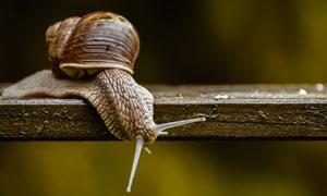 潮湿木板上爬行的蜗牛特写高清图片