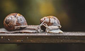 木板上相遇的两只蜗牛摄影高清图片