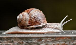驮着壳前行的蜗牛特写摄影高清图片