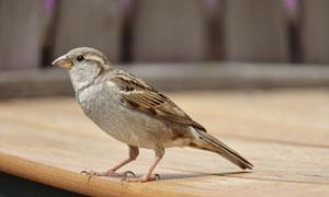 一只可爱的小麻雀特写摄影高清图片
