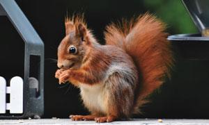 在吃什么东西的小松鼠摄影高清图片