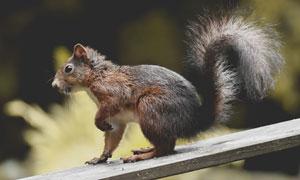 外出觅食的小松鼠特写摄影高清图片