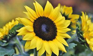 葵花园里的一枚向日葵特写高清图片
