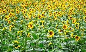 地里长势较好的向日葵摄影高清图片