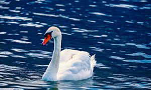 粼粼波光水面上的白色天鹅高清图片