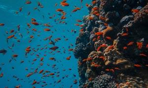 在珊瑚附近游来游去的鱼群高清图片