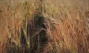 麦芒长长的大麦田风光摄影高清图片