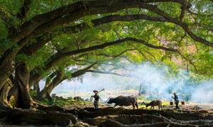 枝繁叶茂的大榕树风景摄影高清图片