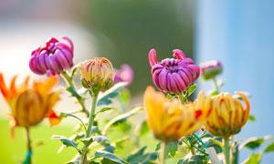 即將盛開的菊花高清攝影圖片