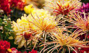 盛開的金絲菊高清攝影圖片