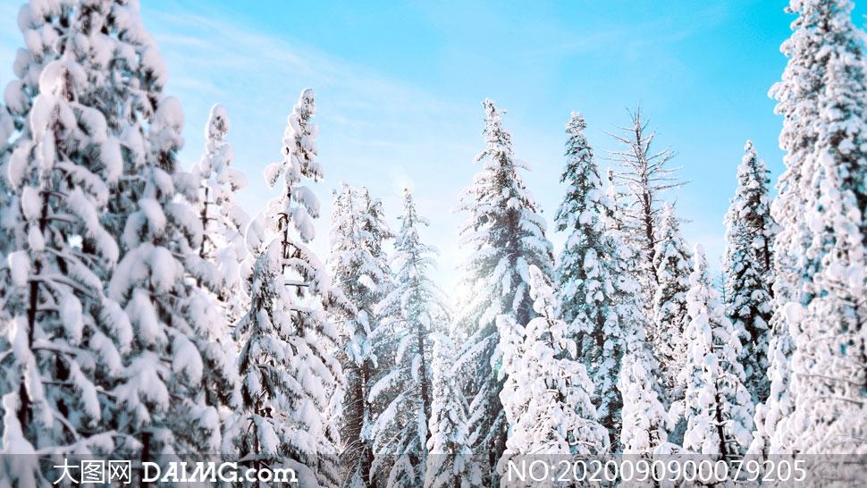 冬季雪后松树上的积雪高清摄影图片
