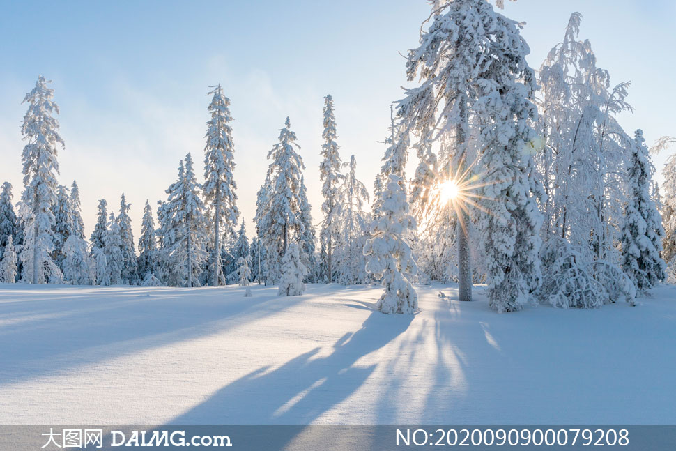 山林中雪后美丽的雪松摄影图片