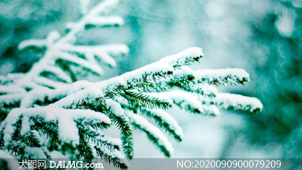 雪后松枝上的积雪摄影图片