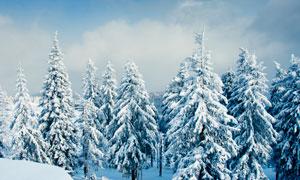 冬季雪后美丽的雪松景观摄影图片