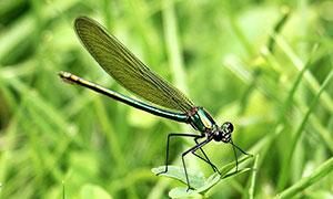 栖息在植物上的蜻蜓摄影图片