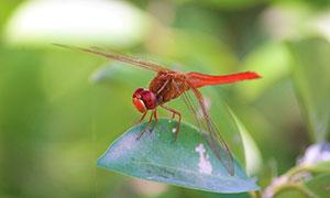 栖息在叶子上的蜻蜓摄影图片