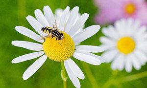 在菊花上采蜜的蜜蜂摄影图片