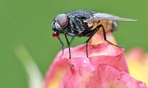 在红色花朵上采蜜的蜜蜂摄影图片