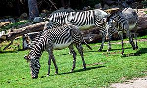 动物园中的斑马高清摄影图片
